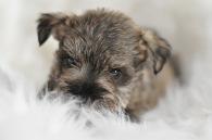 Fluffy Male Mini Schnauzer Puppy