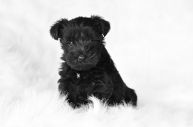 Noble Puppy 2