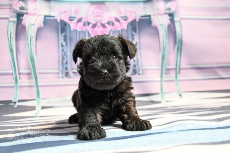 Lady's pups-2