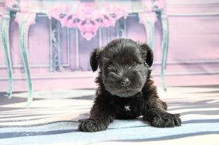Lady's pups-3